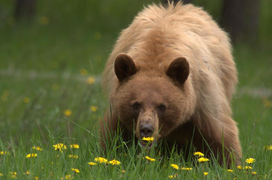 Bear Photograph - Black Bear by Frank Madia
