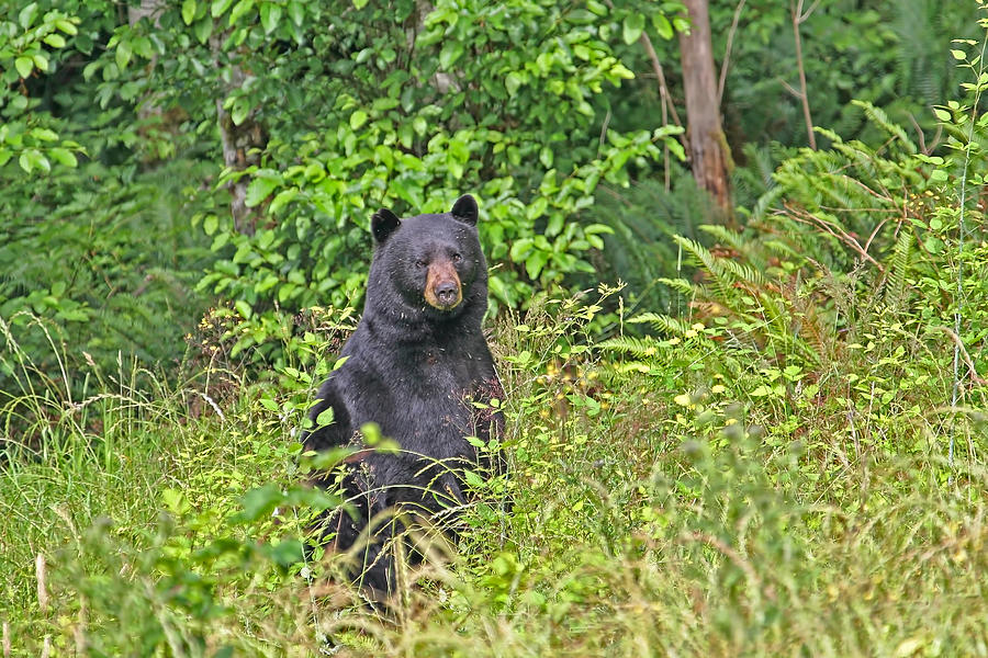 Bear Photograph - Black Bear Standing Up by Peggy Collins