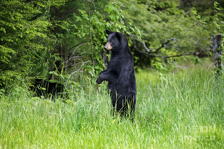 Animal Photograph - Black Bear Standing Upright Looking by Dan Friend