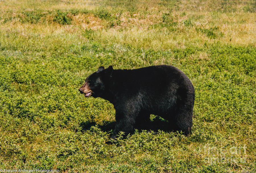 Black Bear Photograph - Black Bear  by Tommy Anderson