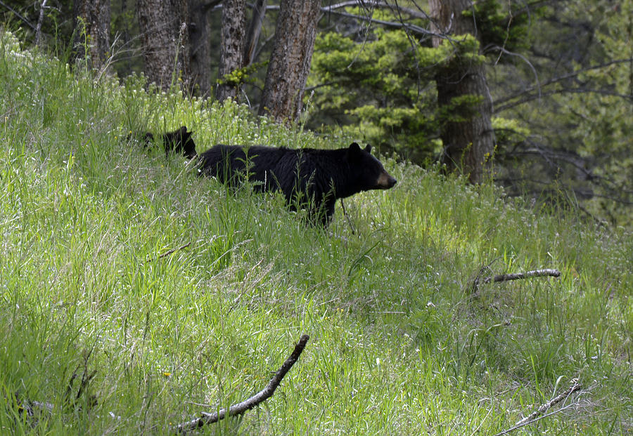 Yellowstone Photograph - Black Bear With Cub Symetrical On Hillside by Bruce Gourley