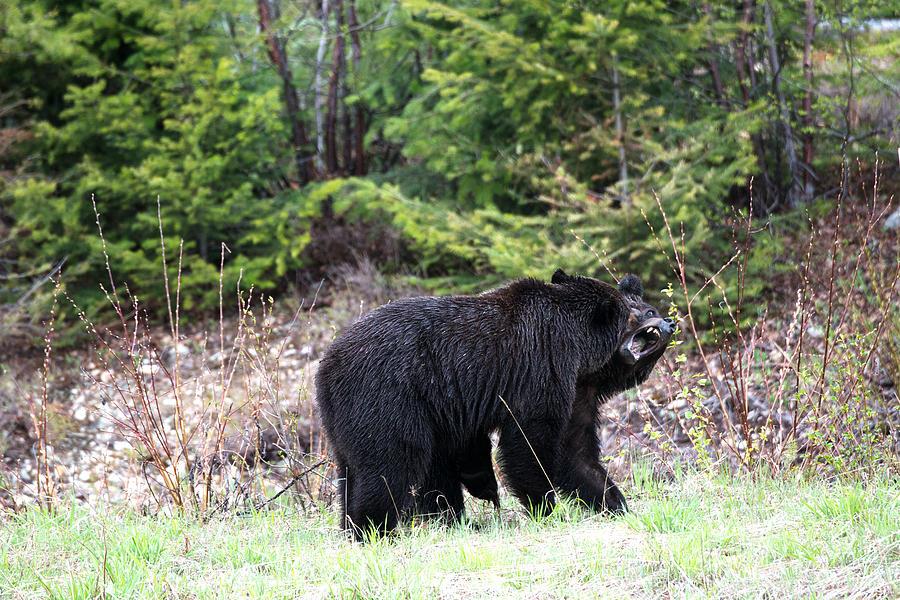 Jasper Photograph - Black Bears Having Fun by Andy Fung