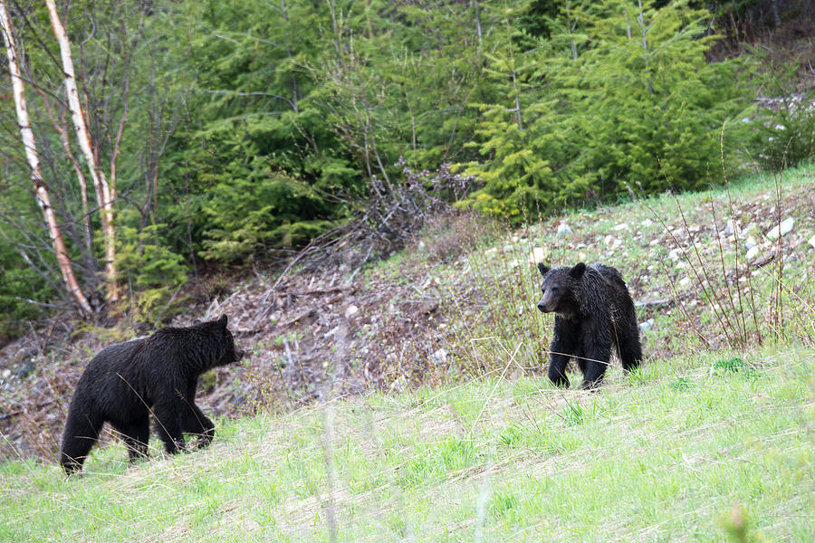 Jasper Photograph - Black Bears In Motion by Andy Fung