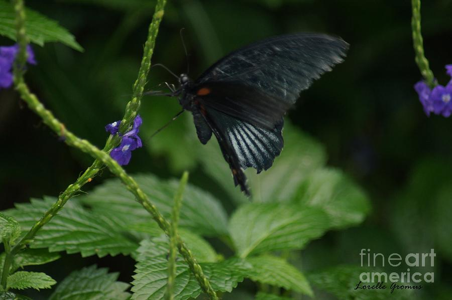 Butterfly Photograph - Black Beauty by Lorelle Gromus