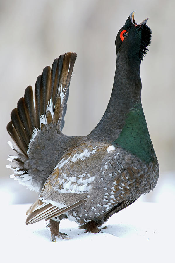 Black-billed Capercaillie Displaying Photograph by Sergey Gorshkov