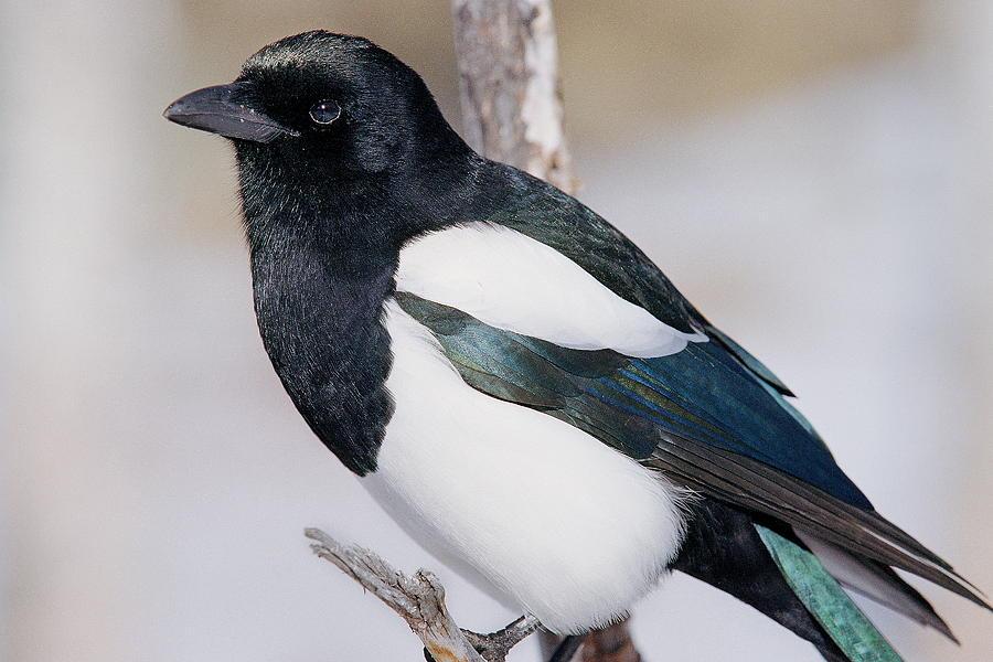 Bird Photograph - Black-billed Magpie by Eric Glaser