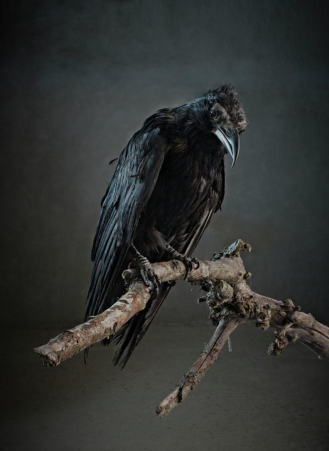 Black Bird Perched On An Old Branch Photograph by Zena Holloway