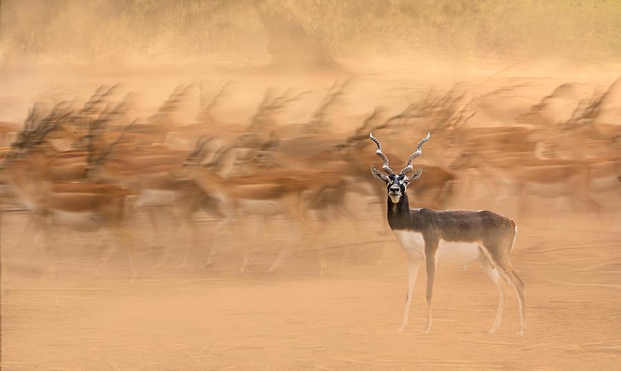 Migration Photograph - Black Bucks by Sayyed Nayyer Reza
