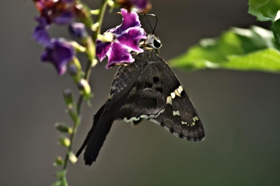 Butterfly Photograph - Black Butterfly by Elery Oxford