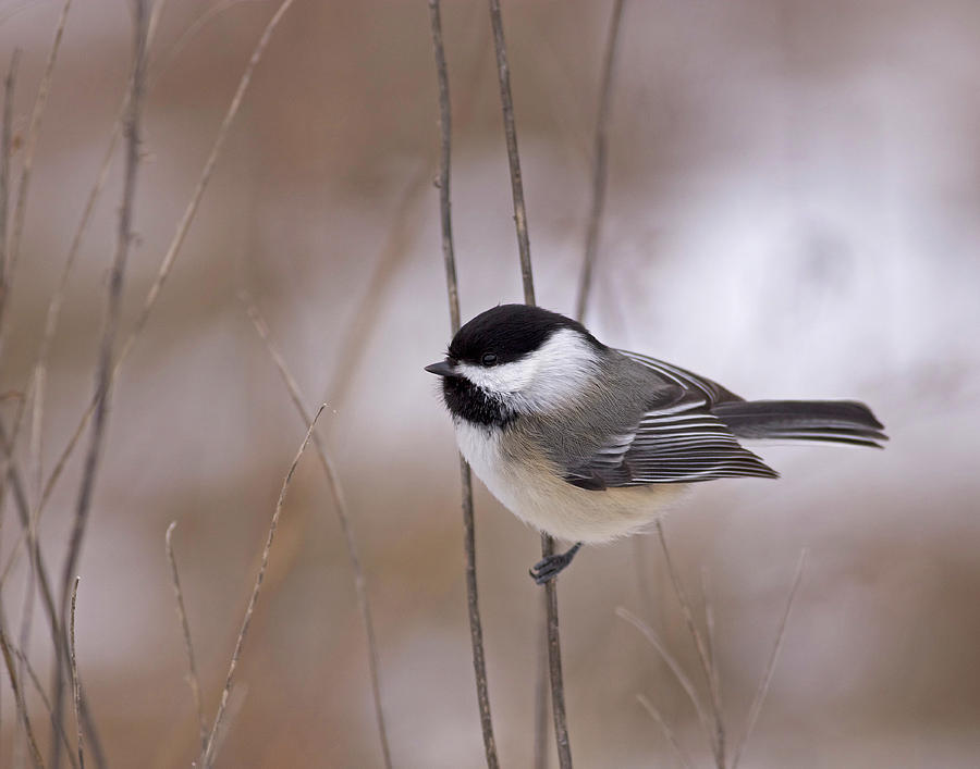 Black Photograph - Black-capped Chickadee by Brian Magnier