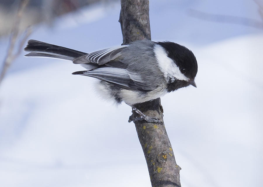 Snow Photograph - Black Capped Chickadee by Gerald Murray Photography