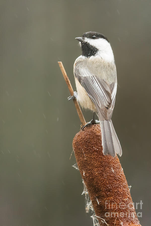 Black-Capped Chickadee on Cattail by Jean A Chang