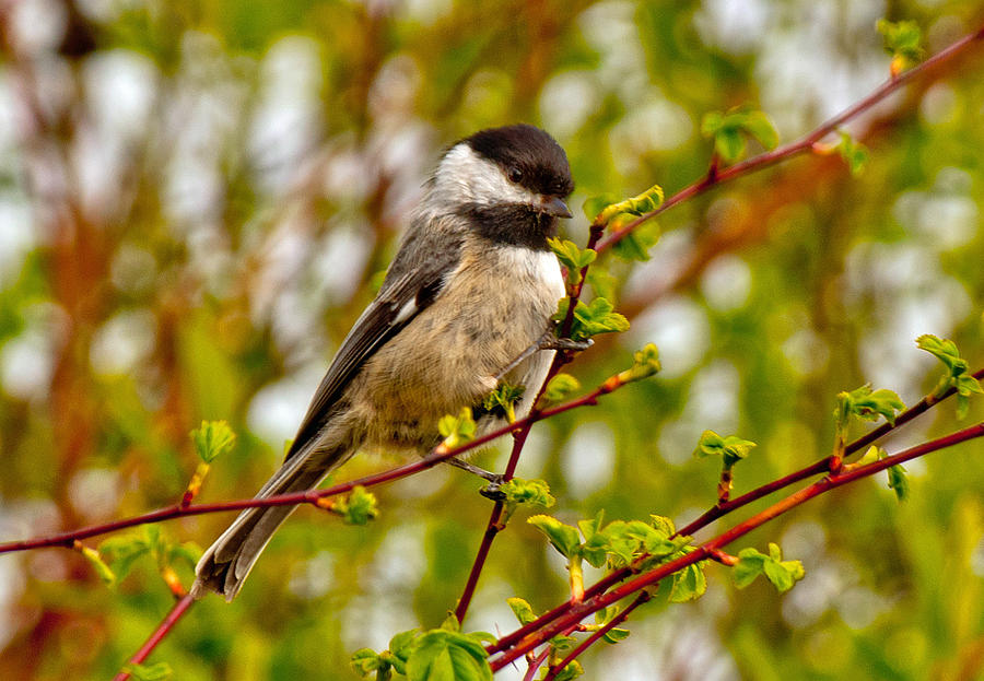 Black-capped Chickadee Photograph - Black Capped Chickadee by Tikvahs Hope