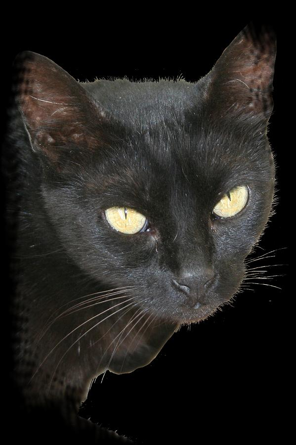 Black Photograph - Black Cat Isolated On Black Background by Tracey Harrington-Simpson