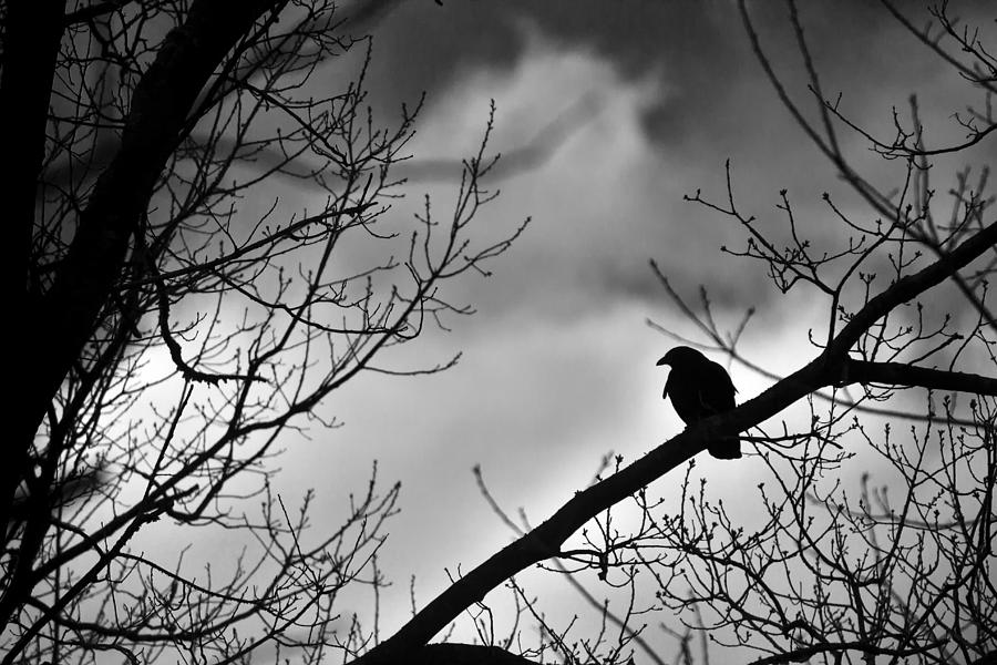 Black Crow On Tree Photograph by Samko Sam