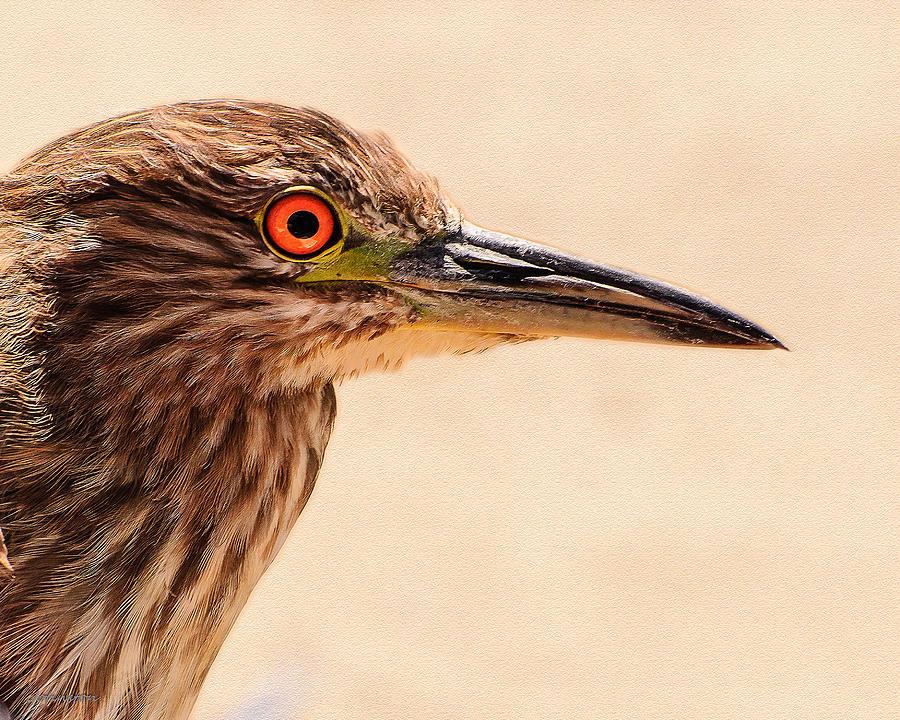 Black Crowned Night Heron Photograph - Black Crowned Night Heron 4 by Bob and Nadine Johnston