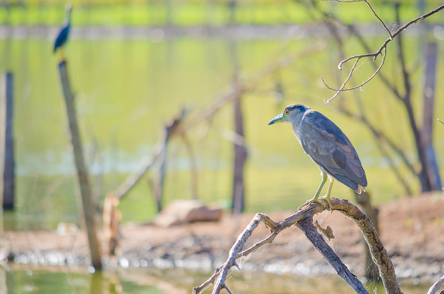 Black-crowned Night-heron Photograph - Black-crowned Night-heron by Joab Souza