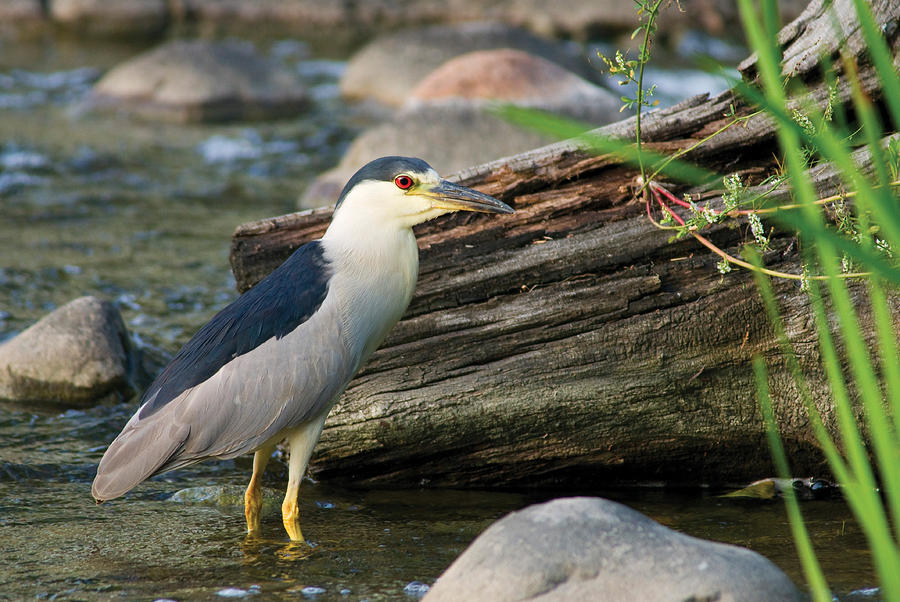 Black-Crowned Night-Heron by Larry Bohlin