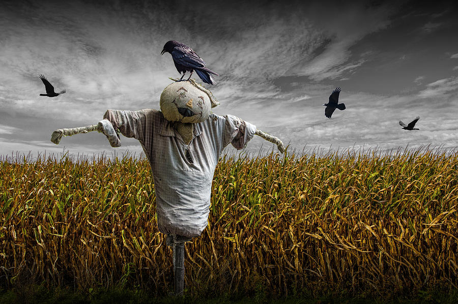 Black Crows Over A Cornfield With Scarecrow And Gray Sky Photograph