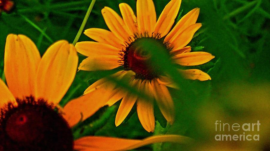 Grass Photograph - Black Eye Susans by Brittany Perez