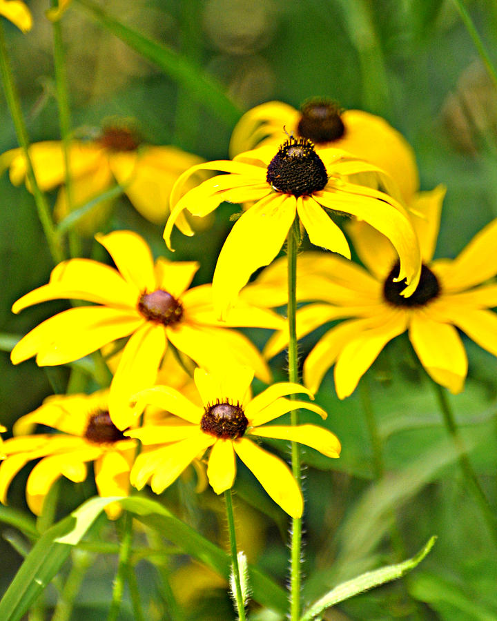 Flower Photograph - Black Eyed Susan 1 by Marty Koch