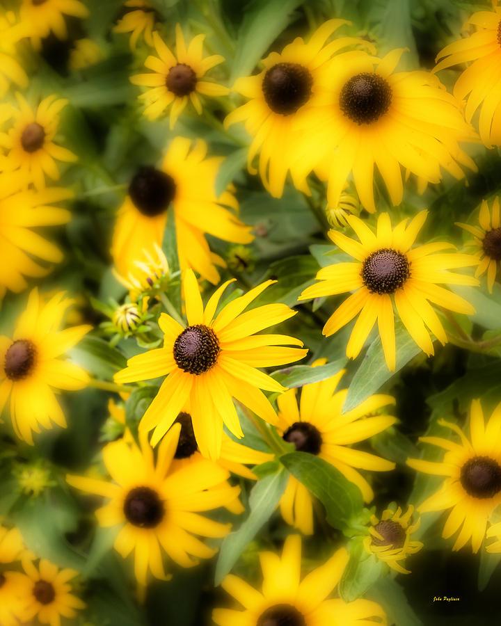 Black Eyed Susan blooms by John Pagliuca
