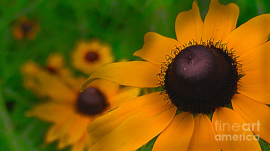 Close Up Photograph - Black Eyed Susan by Brittany Perez