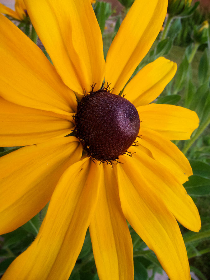 Floral Photograph - Black Eyed Susan by Mary Lee Dereske
