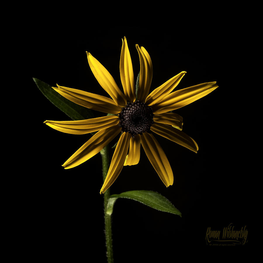 Black Eyed Susan by Roman Wilshanetsky