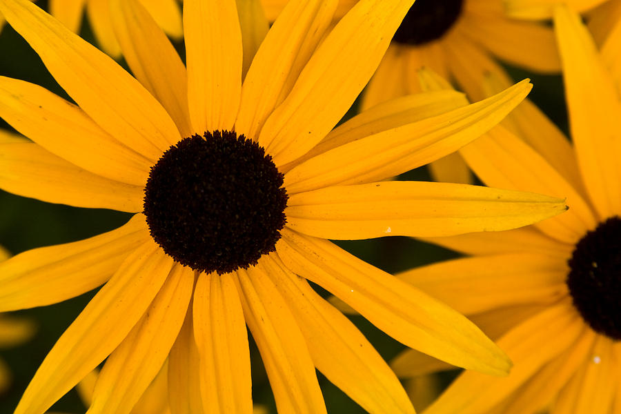 Daisies Photograph - Black Eyed Susans by Brent L Ander