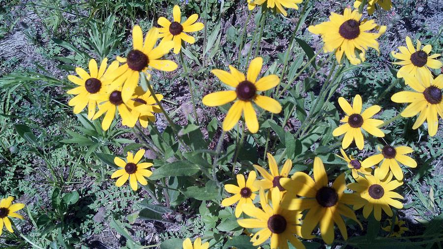 Wildflowers Photograph - Black Eyed Susans by Lisa Wormell