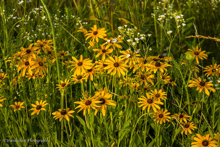 Black Photograph - Black Eyed Susans by Paul Herrmann