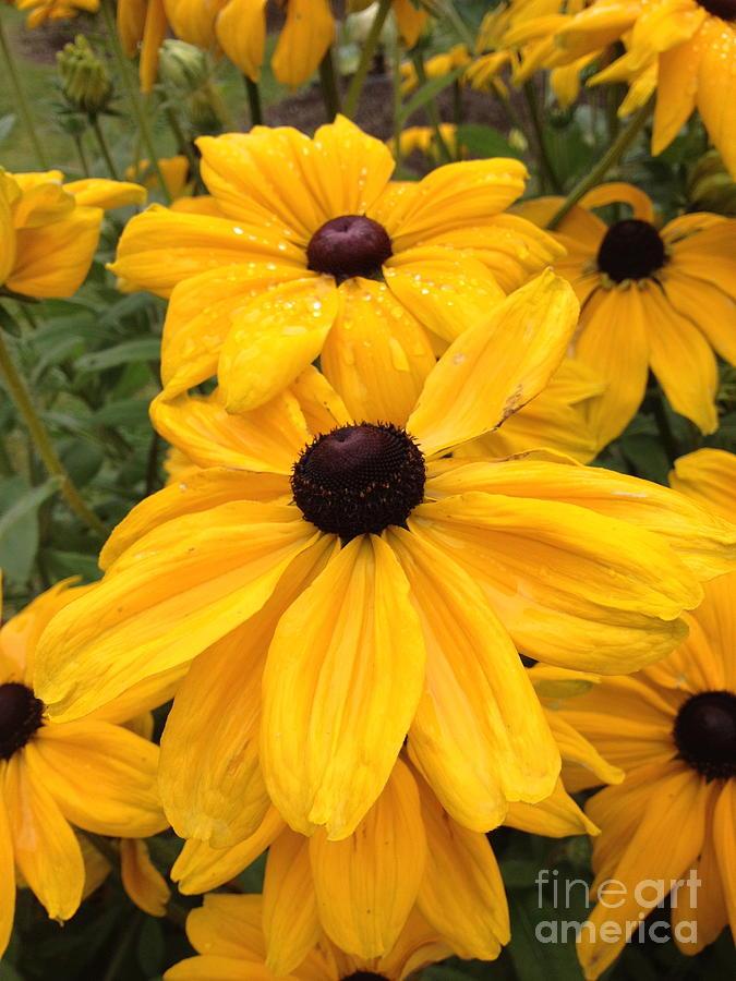 Flowers Photograph - Black Eyed Susans by Barbara Von Pagel