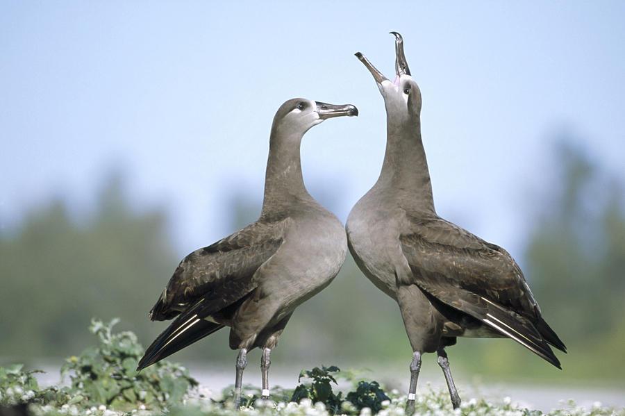 Photograph Photograph - Black-footed Albatross Courtship Dance by Tui De Roy