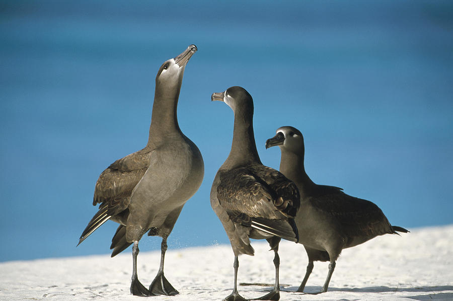 Photograph Photograph - Black-footed Albatross Gamming Group by Tui De Roy