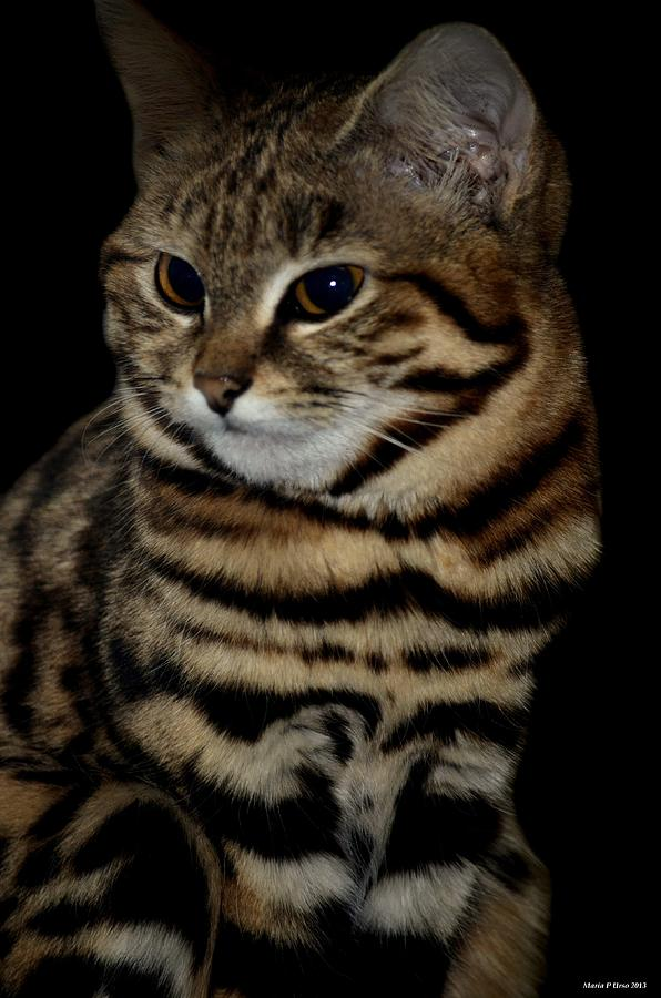 Black-footed Cat Photograph - Black-footed Cat by Maria Urso