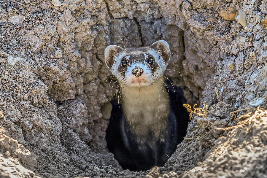 Black-footed Ferret 6 Photograph