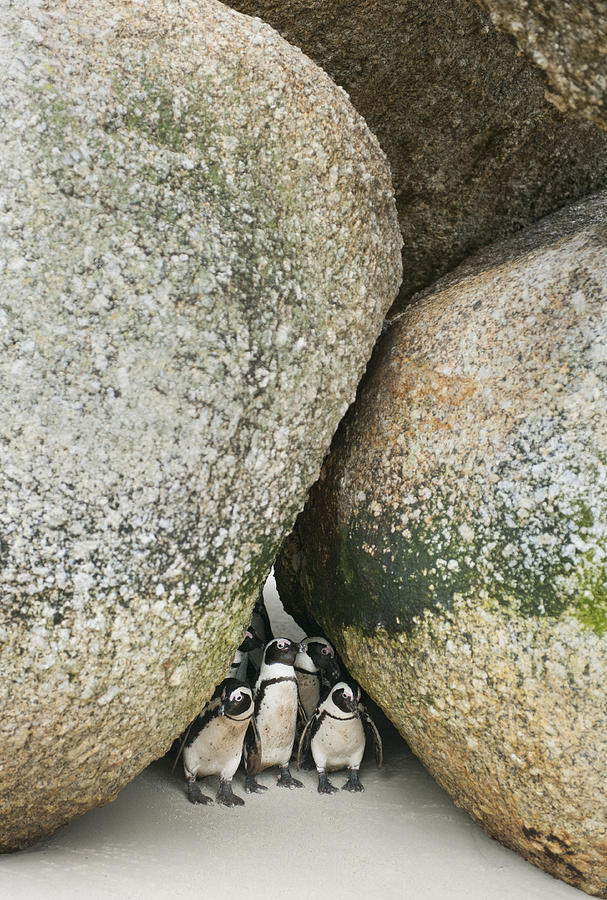 Black-footed Penguins Boulders Beach Photograph by Kevin Schafer
