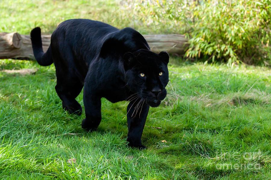 Black Jaguar Hu...
