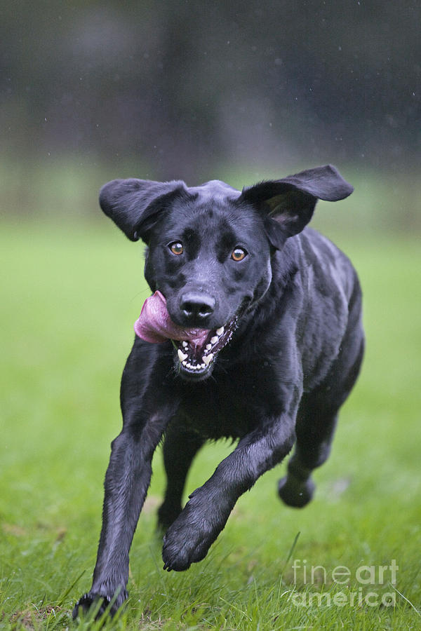 Labrador Retriever Photograph - Black Labrador Running by Johan De Meester