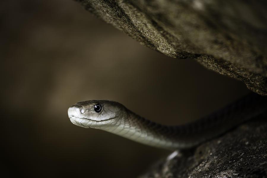 Snake Photograph - Black Mamba On Rock by Rick Budai