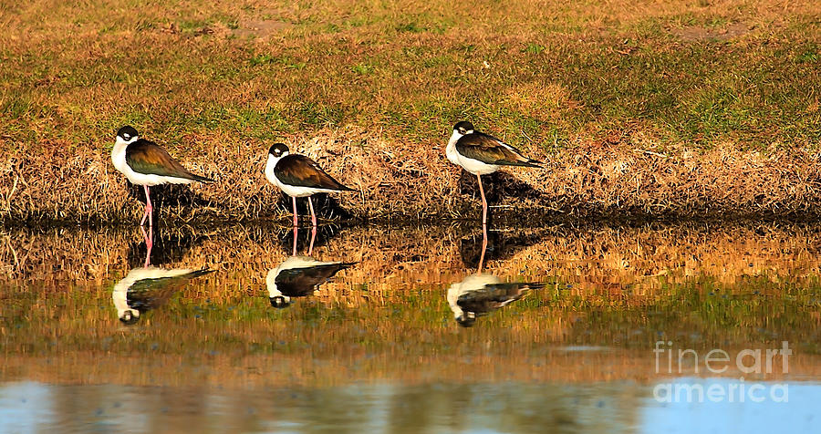 Water Photograph - Black-necked Stilts by Robert Bales