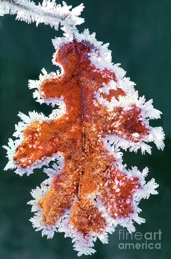 North America Photograph - Black Oak Leaf Rime Ice Yosemite National Park California by Dave Welling