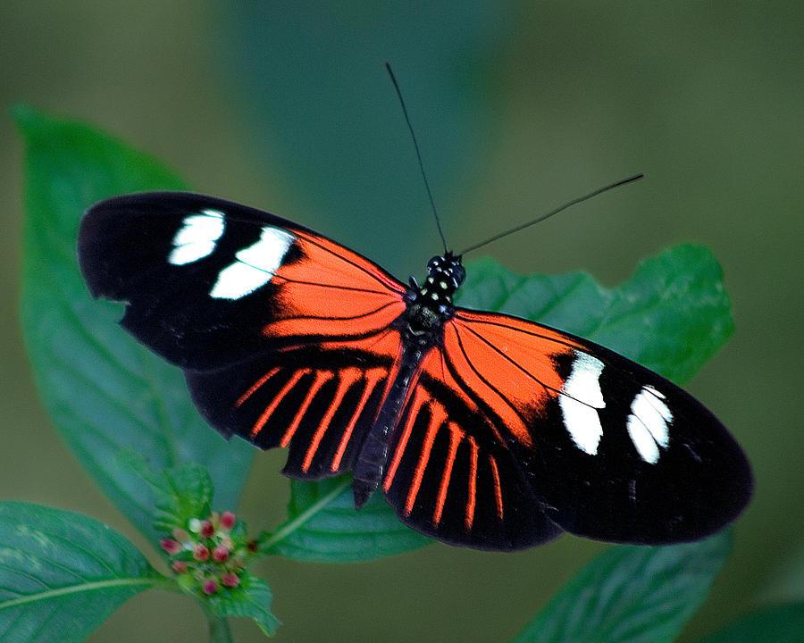 Butterflies Photograph - Black Orange And White by Karen Stephenson