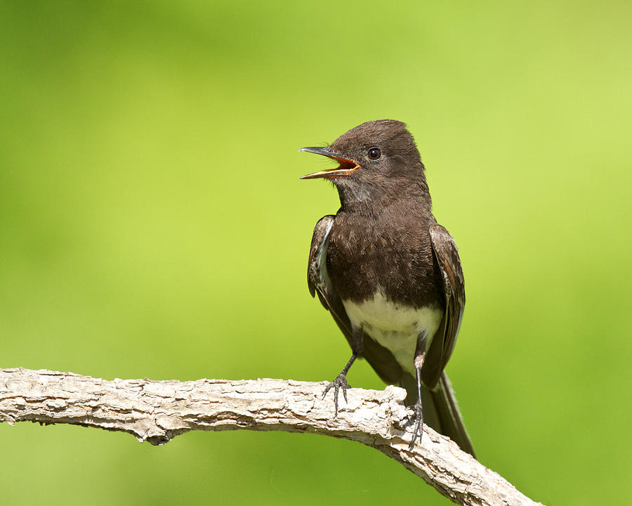 Black Phoebe by Steve Kaye