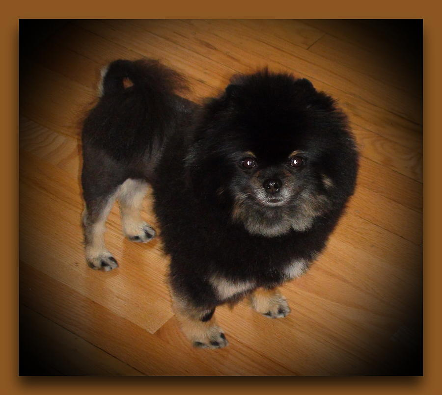 Black Pom With Lion Cut Photograph by Sanford