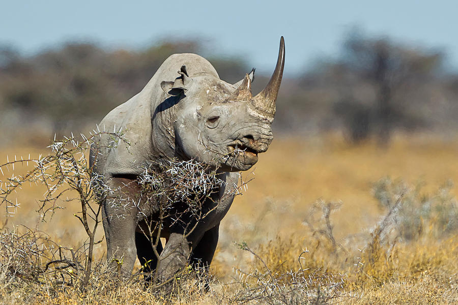 Africa Photograph - Black Rhino  by Rob Daugherty