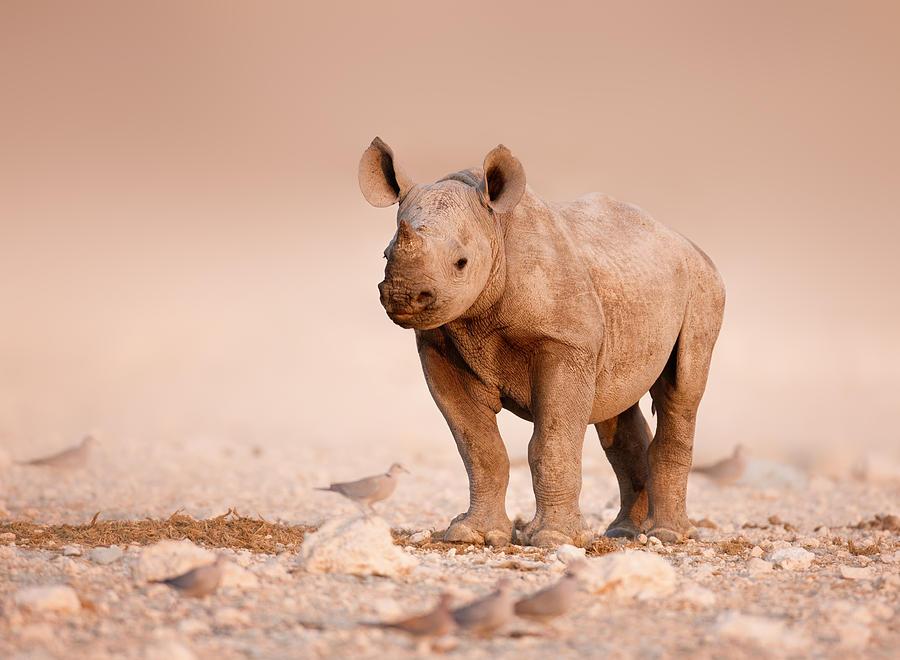 Wild Photograph - Black Rhinoceros Baby by Johan Swanepoel