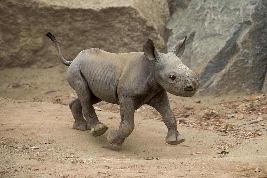 Black Rhinoceros Calf Running Photograph by San Diego Zoo