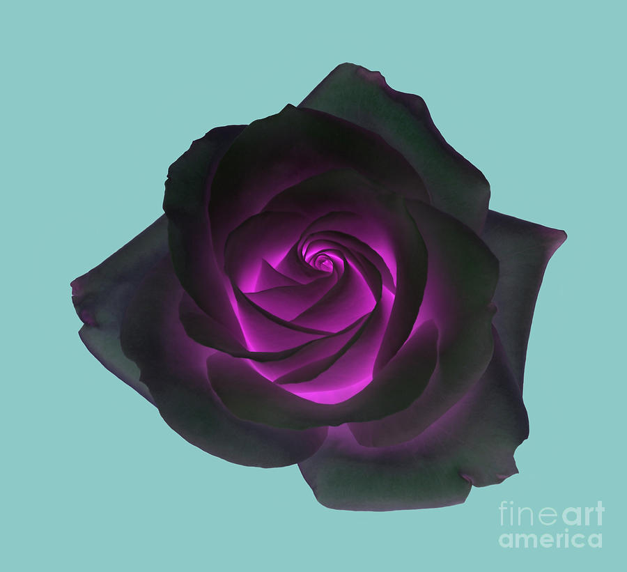 Rose Photograph - Black Rose With Purple Centre On Pale Turquoise Background. by Rosemary Calvert